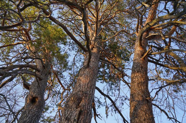 В чём ценность крупных старовозрастных деревьев