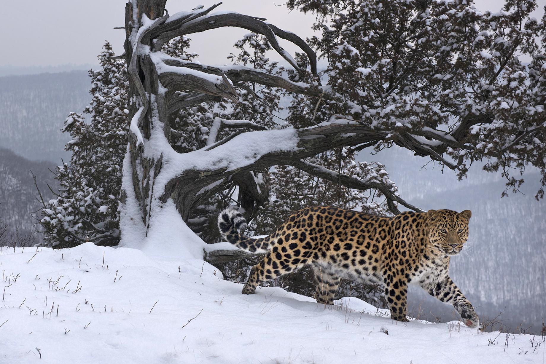 Любовное письмо в свежем снегу: в объективе дальневосточный леопард