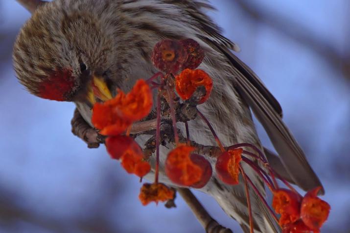 В Шушенский бор на зимовку прилетели первые чечётки